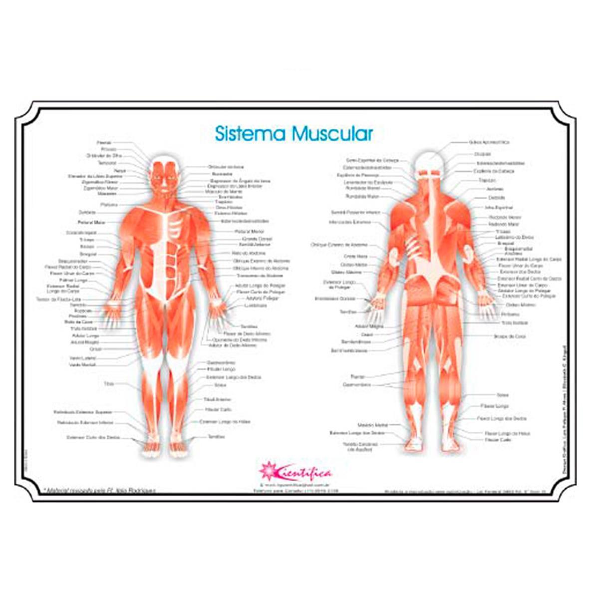 Mapa - Sistema Muscular Corporal (Sem Moldura)